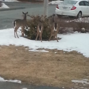 Deer in our neighborhood this week, a rare siting in the suburbs.
